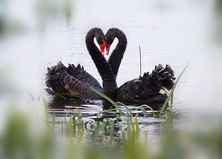 Black Swans. Lake Wendouree, Betty Bibby