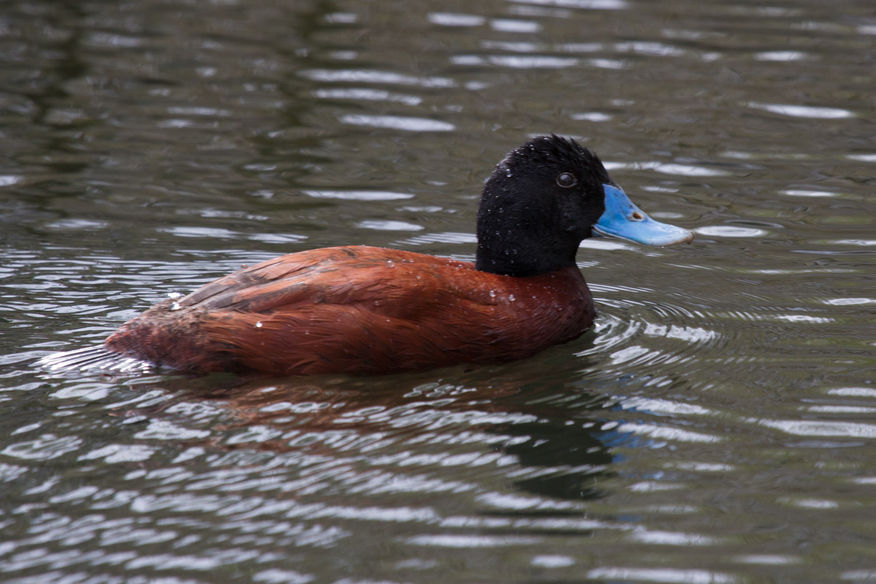 Blue Billed Duck, Lake Wendouree Ballarat, Trevor Bibby