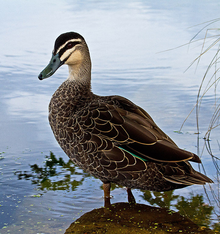 Pacific Black Duck, Lake Wendouree, Jill Wharton