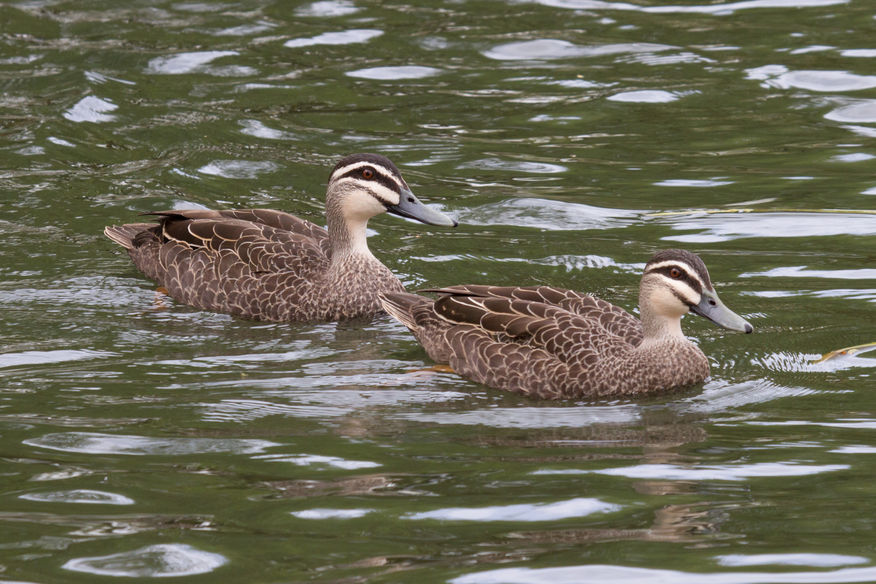 Pacific Black Ducks, Lake Wendouree, Trevor Bibby