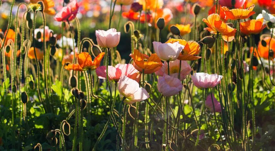 Poppies, Botanical Gardens, Lake Wendouree, Jill Wharton