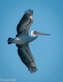 Pelican in Flight Carol Hall