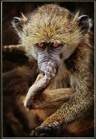 Baby Baboon - Trevor Kittelty : First in Section