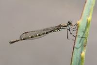 Damsel on Thorns (Keith Aggett) Highly Commended