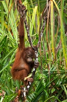 Borneo Youngster (Jill Wharton) 3rd Place