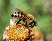 Bee Harvesting (Keith Aggett) Highly Commended