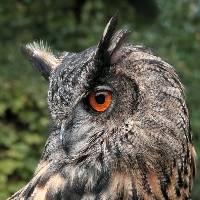 1st Place Eagle Owl Brian Hillman