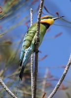 3rd Place Rainbow Bee Eater Ken Smith