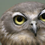 Barking Owl by Henrietta Camilleri 1st Place