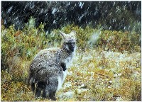 Bennetts Wallaby in Snow (Kaye Kelly) 1st In Section