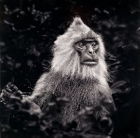 Black faced Langur Monkey Robert Williamson Merit