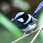 Blue Wren by Trevor Bibby Highly Commended