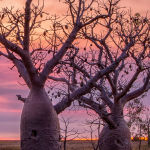 Boab Sunset (Trevor Bibby) Highly Commended