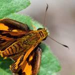 Brown and Yellow Moth (Trevor Bibby)