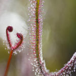 Jewels of the Sundew by Henrietta Camilleri Scored 13 and 3rd Place