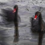 Dance of the Swans by Mark Bevelander Scored 12