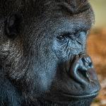 Fataki, Silverback Gorilla by Betty Bibby Score of 12