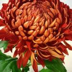 Chrysanthemum by Kate Both Score of 13