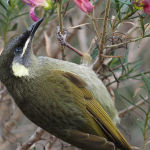 Lewin's Honeyeater by Anne Wilson Score of 13