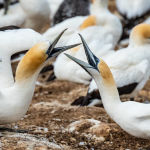 Gannets Greeting by Betty Bibby Scored 10