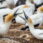 Gannets Greeting by Betty Bibby Scored 10