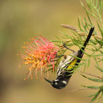 Honeyeater on Grevillia by Judy McEachern Highly Commended