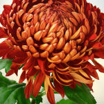 Chrysanthemum 2 by Kate Both Highly Commended