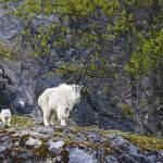 Two Goats by Murray Mc Eachern Scored 12