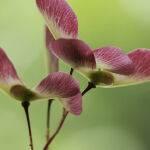 Japanese Maple Seed Pods by Judy Mc Eachern Scored 13