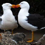 Pacific Gulls Courting by Carol Hall Scored 12