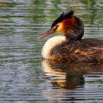 Great Crested Grebe drifting on the lake  by Mark Bevelander Scored 11