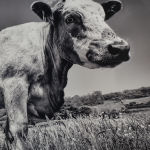 Cow in Buttercups by Pam Rixon 2nd in Section
