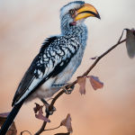 Damara Hornbill By Pam Wheeler (Champion Print)