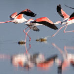 Dancing Flamingos by Jill Wharton Highly Commended