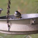 Double Banded Finches (Lyn Fowler)