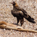 Eagle On Prey - Trevor Bibby