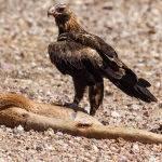 Eagle On Prey - Trevor Bibby