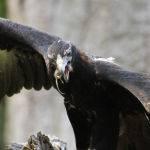 Eagle feeding time (Brett Keating)