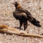Eagle on Prey ( Trevor Bibby ) Score 11
