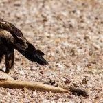 Eagle on Prey Trevor Bibby (Score 11)
