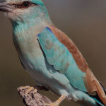 European Roller by Jill Wharton Merit
