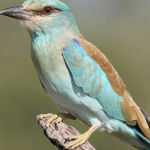 European Roller by Jill Wharton Scored 12