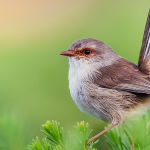 Female Blue Wren by Max Lane 2nd in Section