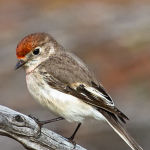 Female Red Capped Robin by Trevor Bibby Scored 14 1st Place
