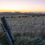 Frosty Cows by Kate Both Highly Commended