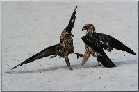 Galapagos Hawk Contest - Jennifer Vass : Merit
