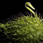 Gamphocarpus fruticosus (Lorraine Lees)