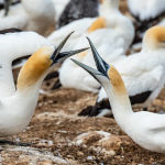 Gannets Greeting by Betty Bibby Scored 18