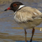 Hooded Plover (Sandie Adaway) Highly Commended