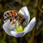 Hungry Bee by Carol Hall